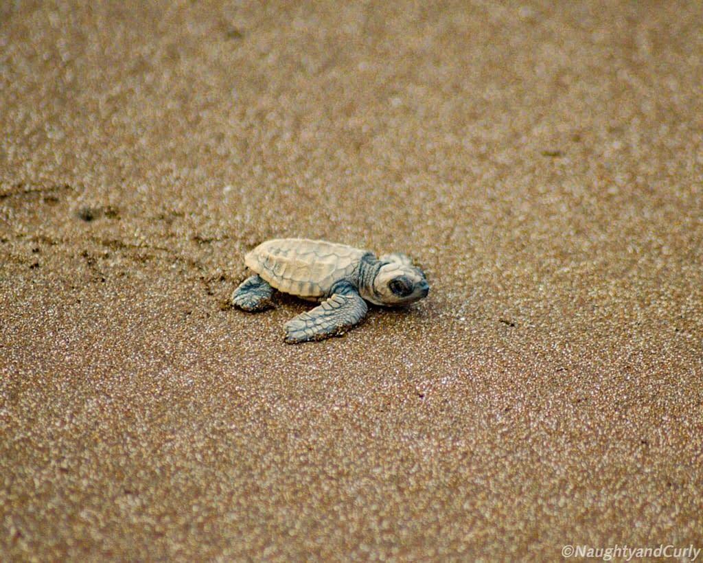 Olive Ridley Turtles at Velas