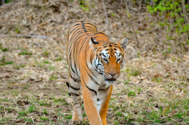 Tadoba_Tiger_Maya-1